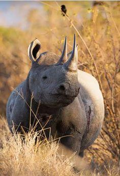 Rhinoceras