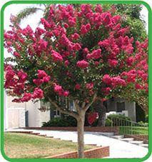 Alberi ornamentali: lagerstroemia indica