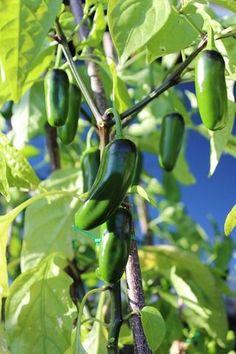 Jalapeno M Pepper Seeds QTY. 25