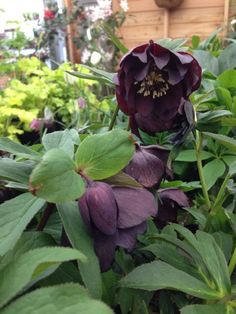 Helleborus Onyx Odyssey Is Lovely Perennial In Dark Burgundy Or Nearly Black Flowers Which Can Easily Be Grown In Part To Full Sun Best Black Flowers and Plants to Give Garden a Dramatic Touch hollyhock nigra. iris before the storm. black helleborus flowers.