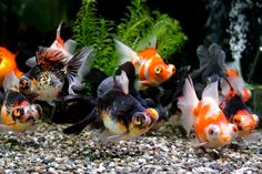 .Telescopes...one of my favorite goldfish varieties. I used to raise them.