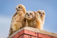 Great Horned Owlets Chimney Sitters... photo by Troy Harrison