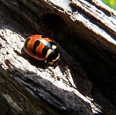 Three-banded Ladybug