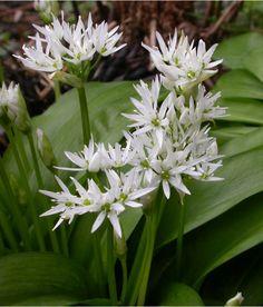 """Ik heb geluk, het kwam hier aanwaaien en groeit lekker uit... Daslook (Allium ursinum) groeit op vochtige, humusrijke plaatsen in de bossen en wordt daarom """"wilde knoflook"""" genoemd.  Het is een van de eerste (eetbare) lentegewassen.  Daslook wordt gebruikt als keukenkruid (blad, bloemen en knolletjes), in de eerste plaats in soep, salades en aardappelgerechten (versnipperen, niet meekoken). Kaas en kwark krijgen met daslook een specifieke, pikante smaak. Njammie..."""