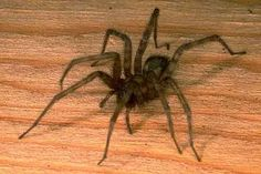 How to Get Rid of Spiders Organically