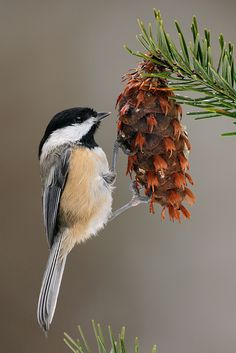 The Black-capped Chickadee - Poecile atricapillus, is a small North American songbird.  Photo by Jacob S. Spendelow.