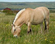 ♥ Norwegian Fjord Horse ~ So gentle ~ Some day.