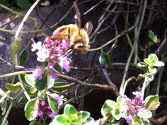 Foxley Thyme with pollinator (image copyright Garden Mentors inc via gardenhelp.org)