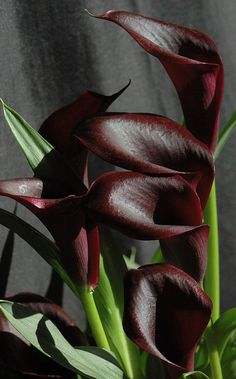 Astonishing Black Plants And Flowers Design Ideas For Black Garden – Calla Beautiful Rose Flowers, Unusual Flowers, Unusual Plants, Black Flowers, Exotic Plants, Amazing Flowers, Beautiful Flowers, Yellow Roses, Pink Roses