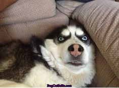 Dog Selfie and Cat Selfie : Funny husky Siberian Husky Funny, Husky Pet, Wolf Husky, Funny Husky, Cute Funny Animals, Funny Dogs, Cute Puppies, Cute Dogs, Husky Faces