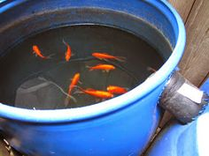 add goldfish to rain barrels and bee waterers to prevent mosquitoes
