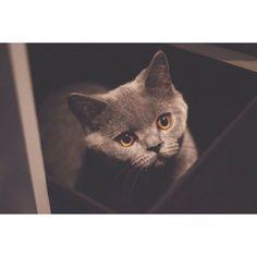 """Someone got caught in the underwear draw. Strangest place you've found your kitty?  #catsofinstagram #kittensofinstagram #kittenoftheday #catoftheday #cat #melbourne #stkilda #kitten #meow #caturday #britishcowboy #topcatphoto #meowbox #ネコ..."
