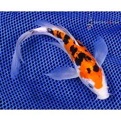 """8.5"""" Armor Scaled Sanke Butterfly Koi 