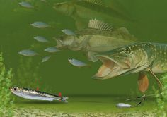 Leger rig for predator fish
