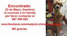 Encontrado 23 de Mayo, (hembra) si conoces a mi familia por favor contactar al 987 598 082 www.facebook.com/marjorie.chimpenvelasquez Mil gracias  https://www.facebook.com/photo.php?fbid=10153270236566368&set=a.10153270235911368.1073741832.696661367&type=1