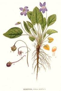 Botanical - Flower - Viola hirta