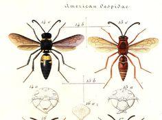 1875 Vintage  Print American Wasps Montezumia Monobia