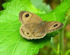 Butterfly in disguise Gunung Leuser National Park, National Parks, Butterfly Kisses, Butterflies