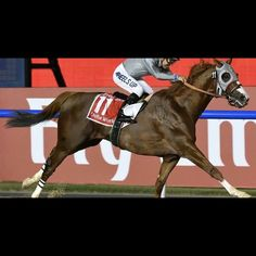 Check out his girth! California Chrome won the $10 Million Dubai World Cup with a girth like this. This photo was taken at the wire. The girth has slipped well over 2 feet back, dragging the saddle with it. Victor Espinoza, I don't know how you did it but you are amazing and so is California Chrome! This is the Associated Press' Martin Dokoupil's photo.