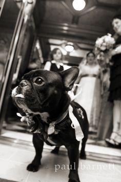French Bulldog as a groomsman in a classy wedding photographed by Paul Barnett