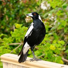 Former gallery of bird pictures submitted by photographers. Migratory Birds, Australian Birds, Bird Pictures, Magpie, Gallery, Drawings, Animals, Aesthetics, Random