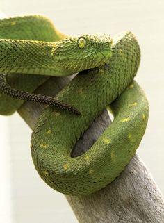 Green African Bush Viper Snake Images, Snake Photos, African Bush Viper, Baby Snakes, Poisonous Snakes, Cool Snakes, Green Iguana, Pit Viper, Snake Venom