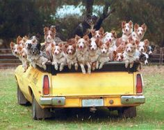 """""""Aussie working dogs by the car load!"""" Thanks Betty K., from her board """"Who let the dogs out"""" We Are The World, Mundo Animal, Working Dogs, Pet Store, Mans Best Friend, Funny Cute, Dogs And Puppies, Doggies, Dog Cat"""
