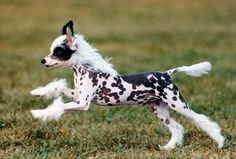 Chinese Crested Puppy :) - love his skin pattern!