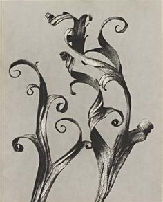 Karl Blossfeldt 'delphinium rittersporn' 1920-29... made me fall in love with photography