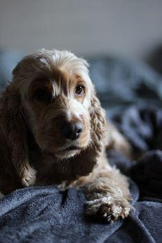Yuki | #dogs #spaniel #cockerspaniel