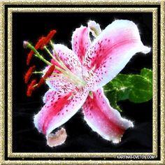 красивая лилия