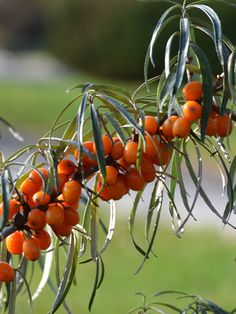 Hippophae rhamnoides (Sea-buckthorn) Sea Berries, Nitrogen Fixing Plants, Weed, Herbs, Print Ideas, Fruit, Veggies, Prints, Gardening