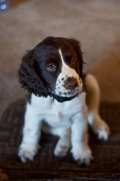 English Springer Spaniel pup with freckles