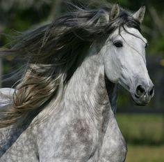 Silver Grey Andalusian
