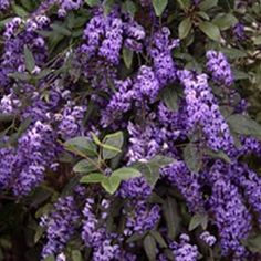 Hardenbergia violacea 'Happy Wanderer': A vigorous small shrub or climber, effective ground or fence cover. Attracts native butterflies and is a caterpillar food source.