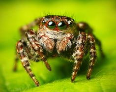 Jumping spiders ... definitely the cutest group of spiders... they have the best eyesight of any invertebrate (they need it to judge distances for jumping/catching prey). When you look closely at one of these spiders, you can see him or her looking right back at you.