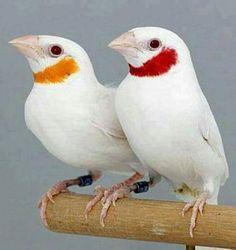 White mutation of Cut-throat Finches (Amadina fasciata) Cute Birds, Pretty Birds, Small Birds, Little Birds, Colorful Birds, Funny Birds, Funny Animals, Beautiful Creatures, Animals Beautiful