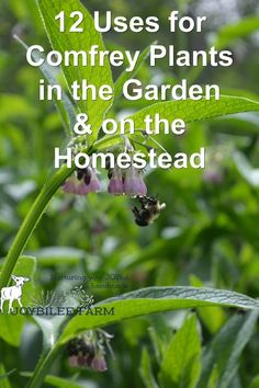 12 Uses for Comfrey Plant in the Garden and Homestead that you must try. But first you'll need to plant the kind of comfrey that is noninvasive yet prolific in leaf growth. Then use this comfrey for fertilizer, mulch, and to heal the garden. Garden Mulch, Herb Garden, Herb Farm, Garden Junk, Fruit Garden, Healing Herbs, Medicinal Plants, Natural Healing, Wound Healing