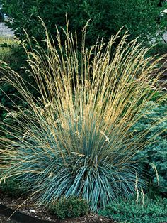 1000 images about plants to grow on pinterest grasses for Ornamental oat grass varieties