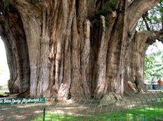 CIPRESSO DI MONTEZUMA.  E' l'albero nazionale del Messico, famoso per per l'immenso perimetro del tronco. Gli alberi al Parco Chapultepec di Città del Messico conta tra gli esemplari più alti e si dice che siano stati piantati ai tempi degli ultimi imperatori Aztechi. Raggiunge i 37 metri.