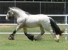 "Appaloosa Bay Gypsy Vanner ""Apollo."" Beautiful horse, but looks a bit bulky to be a working horse."