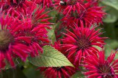 Pant profile of Monarda 'Cambridge Scarlet' on gardenersworld.com