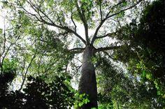 Rainforest canopy in the Carrara National Park Costa Rica http://costarica.com/attractions/carara-national-park/