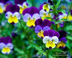 Johnny jump ups, the perfect winter flower, they always make me smile! Love the little face! Johnny Jump Up Flowers, Winter Flowers, Pansies, Make Me Smile, Spring, Plants, Country Kitchen, Image Search, Christmas Ideas