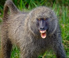 baboon | olive baboon papio anubis protecting his family this male alpha baboon ...
