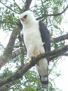 hawks and eagles | ... Guide Photo Page: Black-and-white Hawk-Eagle Spizastur melanoleucus