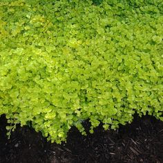 Lysimachia 'Aurea' - The Golden Creeping Jenny is a great groundcover that is beautiful while brightening up shady areas. Green Garden, Shade Garden, Garden Plants, Diy Pergola, Pergola Kits, East Facing Garden, Shade Grass, House Yard, Front Yard Landscaping