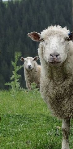 "~Bleatie & Earie~ ""My sheep recognize My Voice. Farm Animals, Animals And Pets, Cute Animals, Alpacas, Beautiful Creatures, Animals Beautiful, Beautiful Farm, Wooly Bully, Sheep Art"