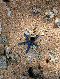 small blue star fish!