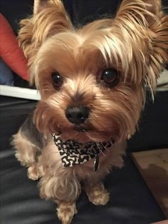 Cute Dogs And Puppies, Pet Dogs, Doggies, Adorable Puppies, Dog Photos, Dog Pictures, Yorshire Terrier, Yorkshire Terrier Puppies, Yorkie Puppy